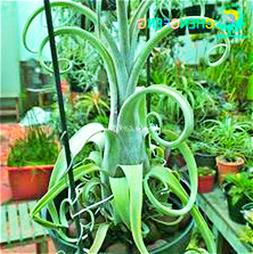 Hot Sale 100pcs Tillandsia plants Succulent Pineapple Mini <